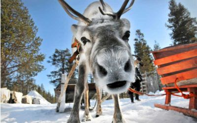 The reindeer, a symbol of Lapland