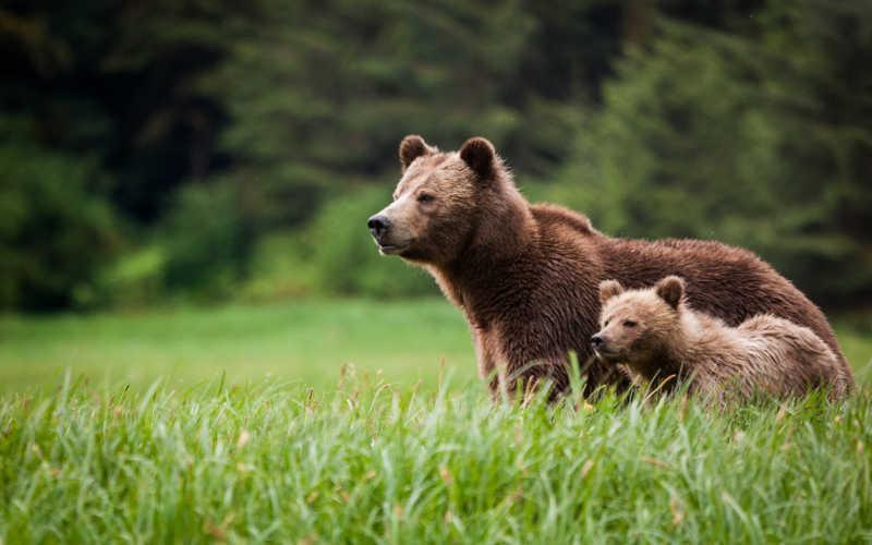 ver osos grizzly en canada