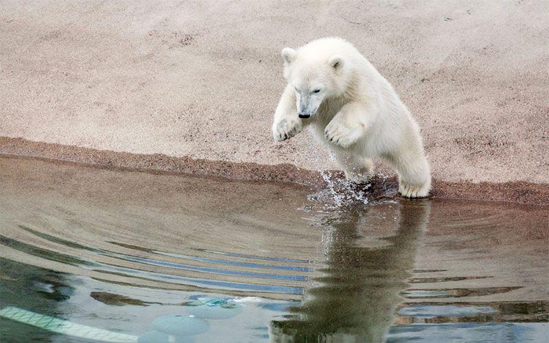 ver-osos-polares-en-laponia-en-verano