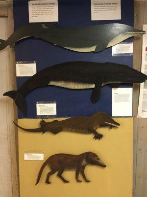 evolucion-ballenas-museo-andenes-noruega