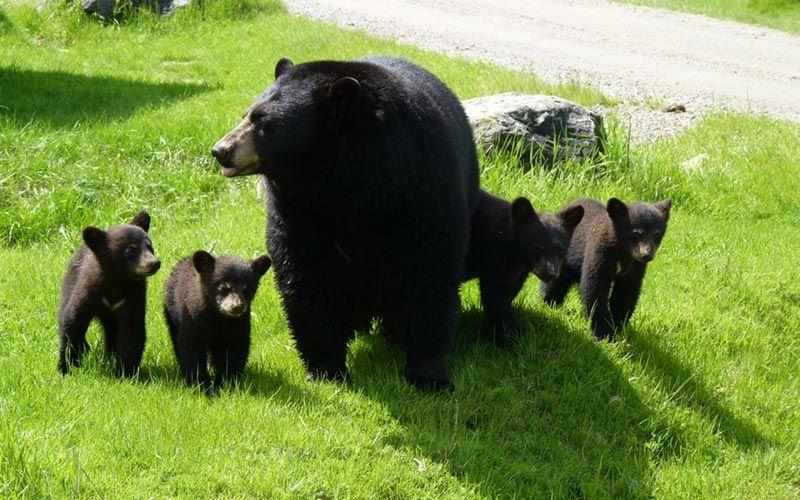 ver-osos-canada-viaje-ninos