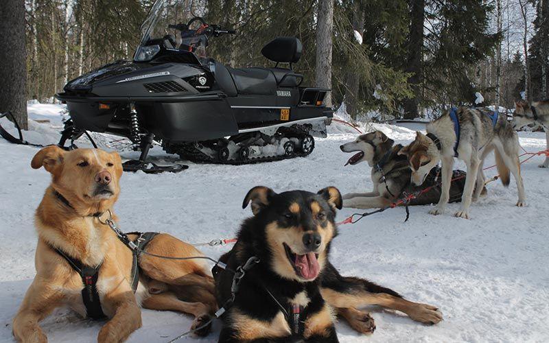 safari-trineo-huskies-largo-duracion-laponia