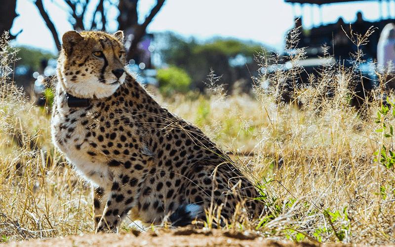 centro-conservacion-cheetah-namibia