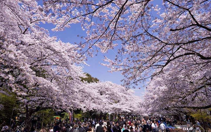 flores-de-cerezo-parque-ueno-tokio-viaje-luna-de-miel-japon-y-maldivas