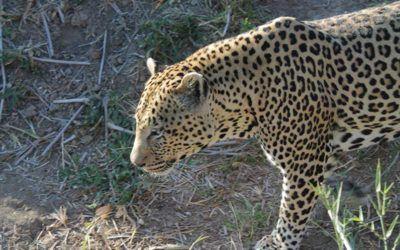 mejores-safaris-sudafrica-ver-leopardo-kruger