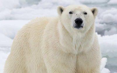 Migración de osos polares en Canadá
